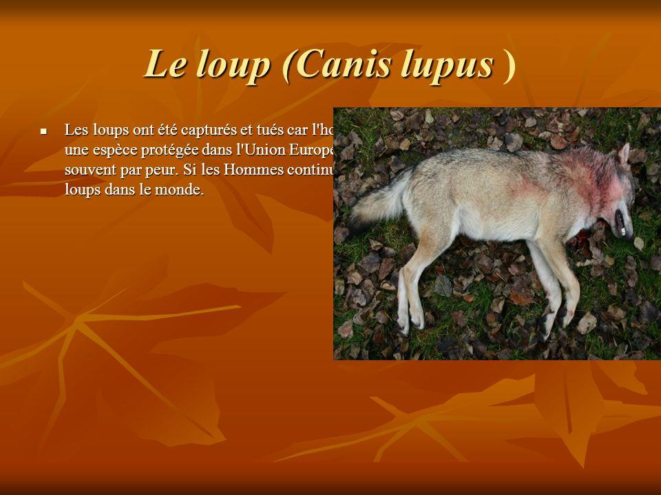Le loup (Canis lupus )