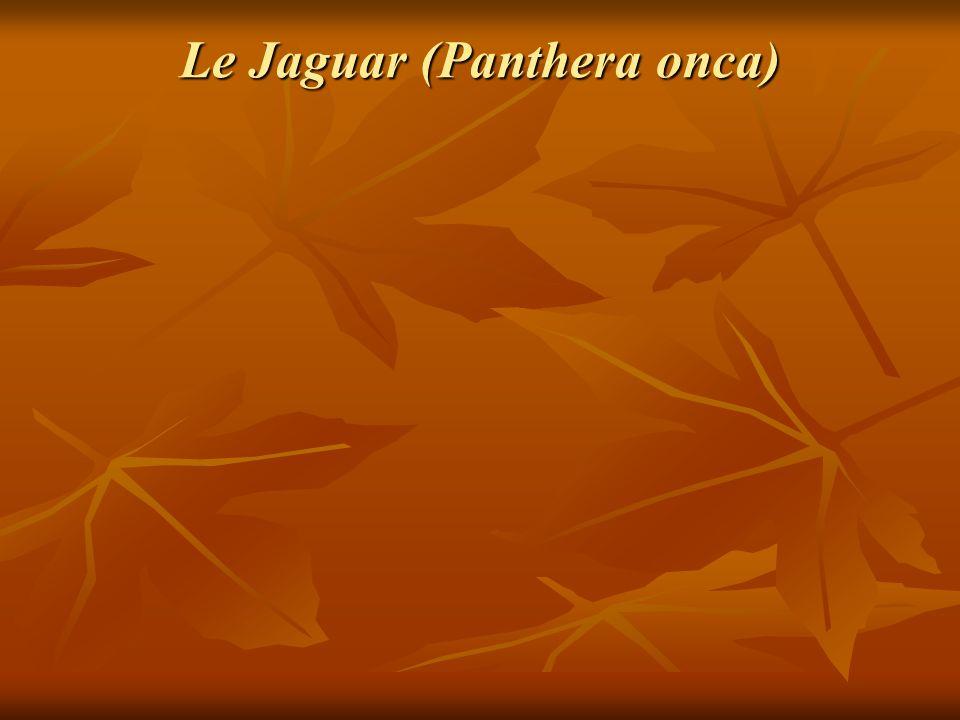 Le Jaguar (Panthera onca)