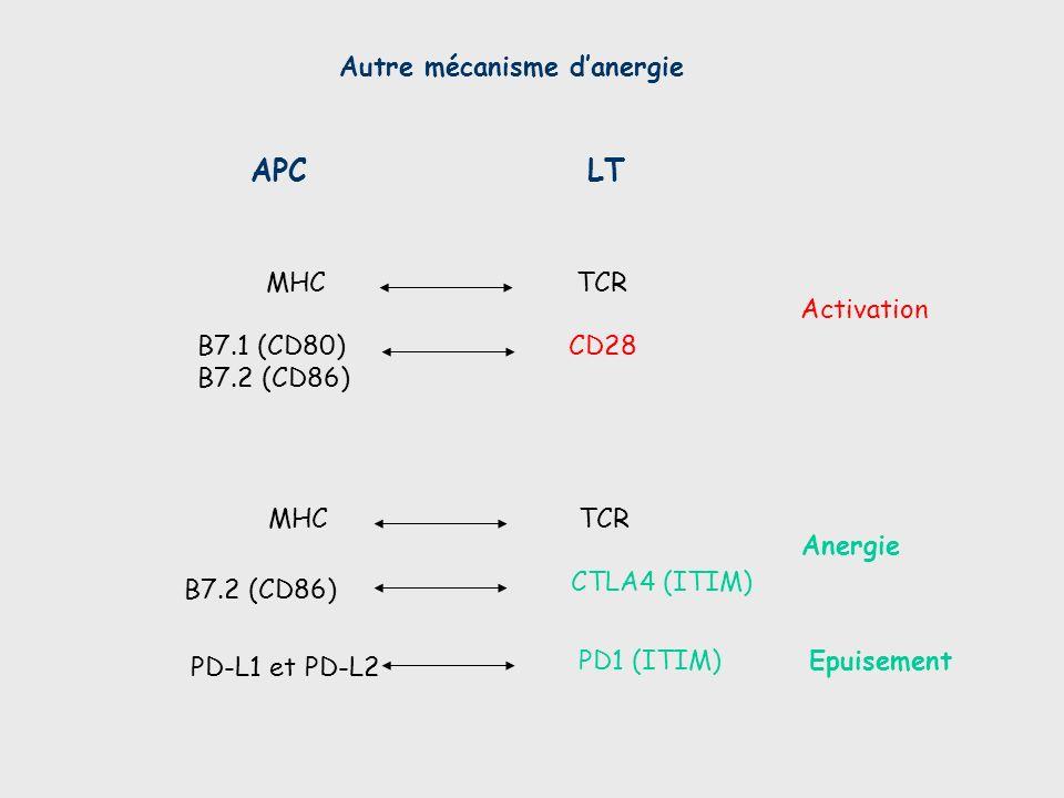 APC LT Autre mécanisme d'anergie MHC TCR Activation B7.1 (CD80)