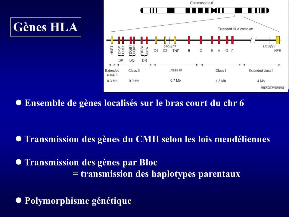 Gènes HLA  Ensemble de gènes localisés sur le bras court du chr 6