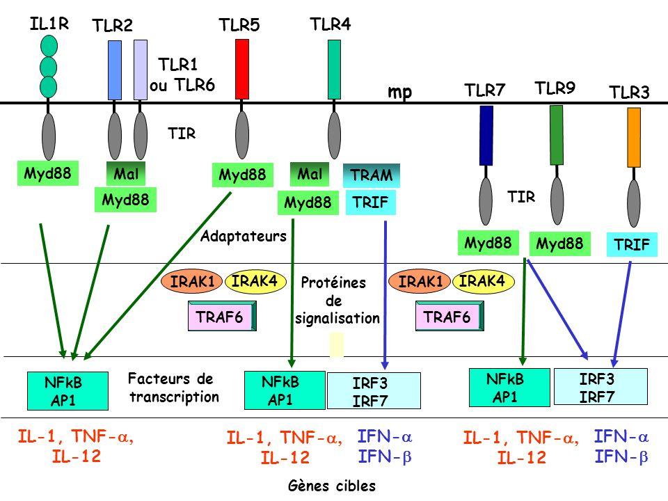 mp IL1R TLR2 TLR1 ou TLR6 TLR5 TLR4 TLR3 TLR7 TLR9 IL-1, TNF-a, IL-12