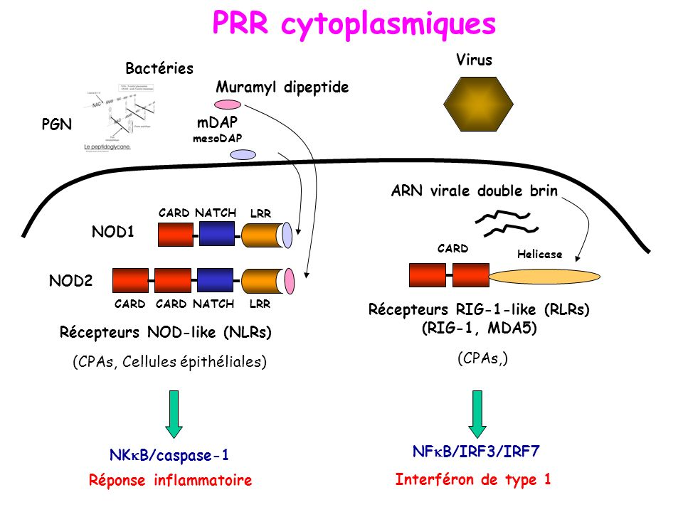PRR cytoplasmiques Virus Bactéries Muramyl dipeptide PGN mDAP