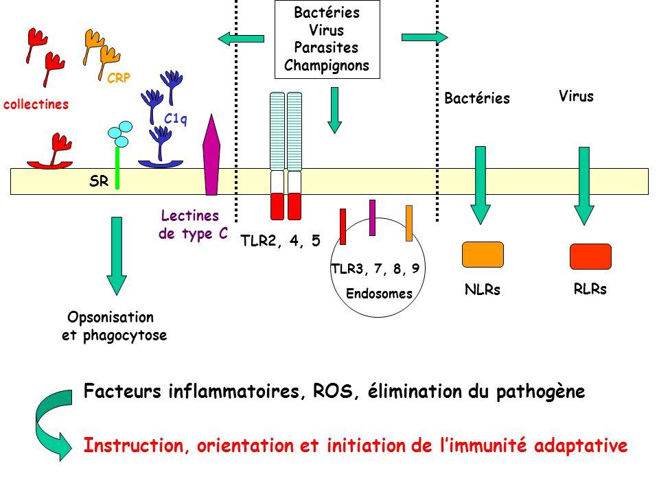 Facteurs inflammatoires, ROS, élimination du pathogène