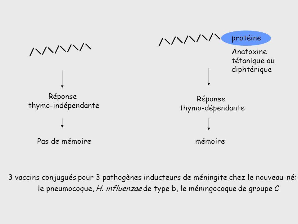 Anatoxine tétanique ou. diphtérique. mémoire. Réponse. thymo-dépendante. protéine. Réponse. thymo-indépendante.