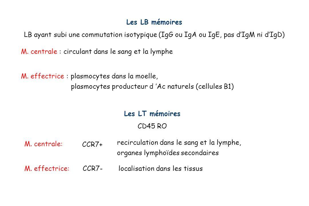 Les LB mémoires LB ayant subi une commutation isotypique (IgG ou IgA ou IgE, pas d'IgM ni d'IgD) M. centrale : circulant dans le sang et la lymphe.