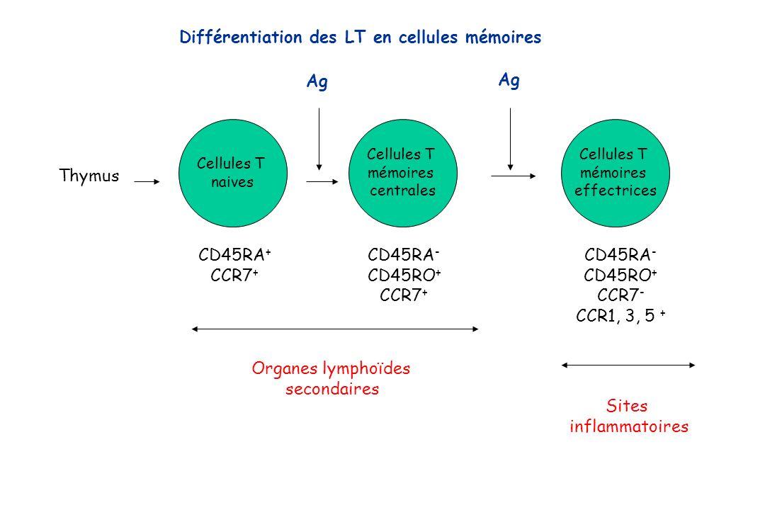 Différentiation des LT en cellules mémoires