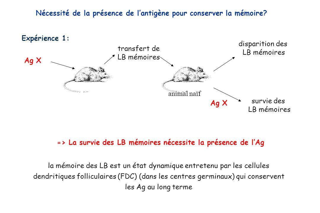 => La survie des LB mémoires nécessite la présence de l'Ag