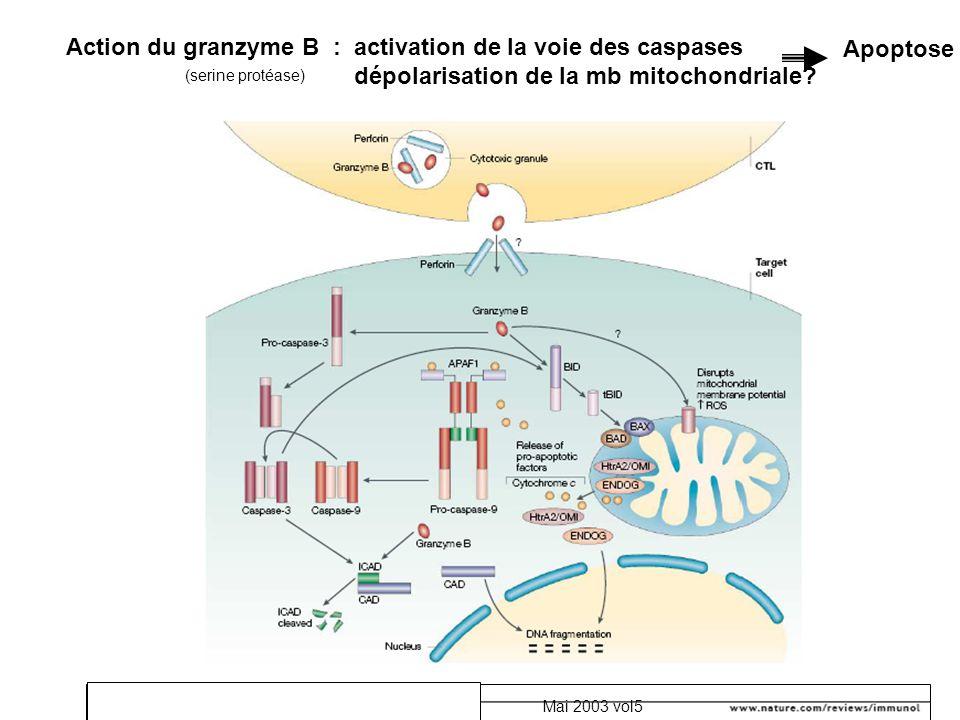 Action du granzyme B : activation de la voie des caspases
