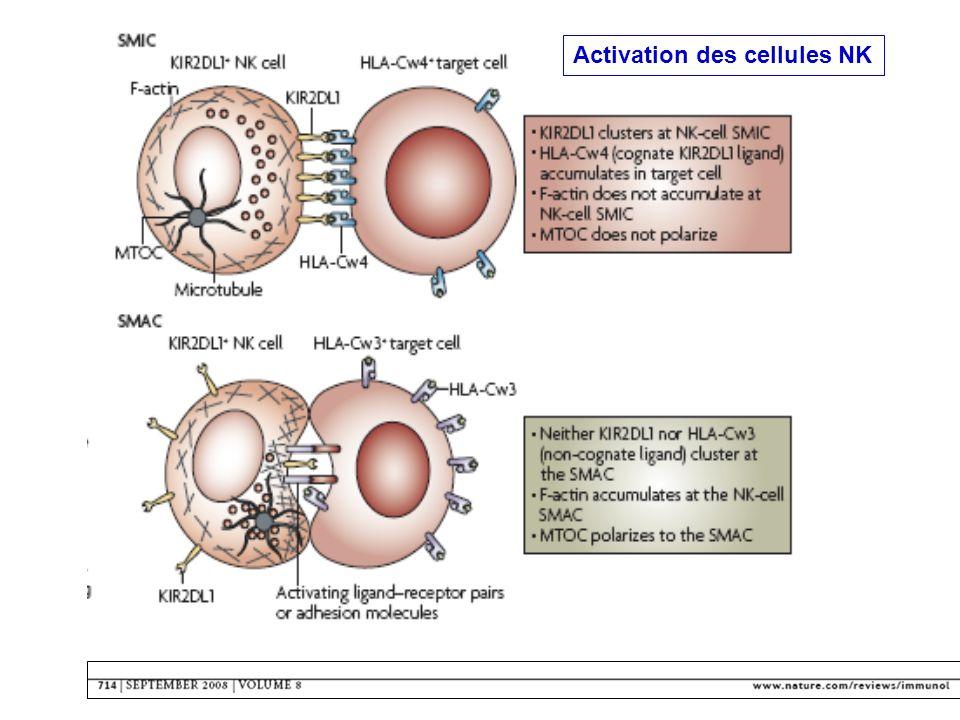 Activation des cellules NK