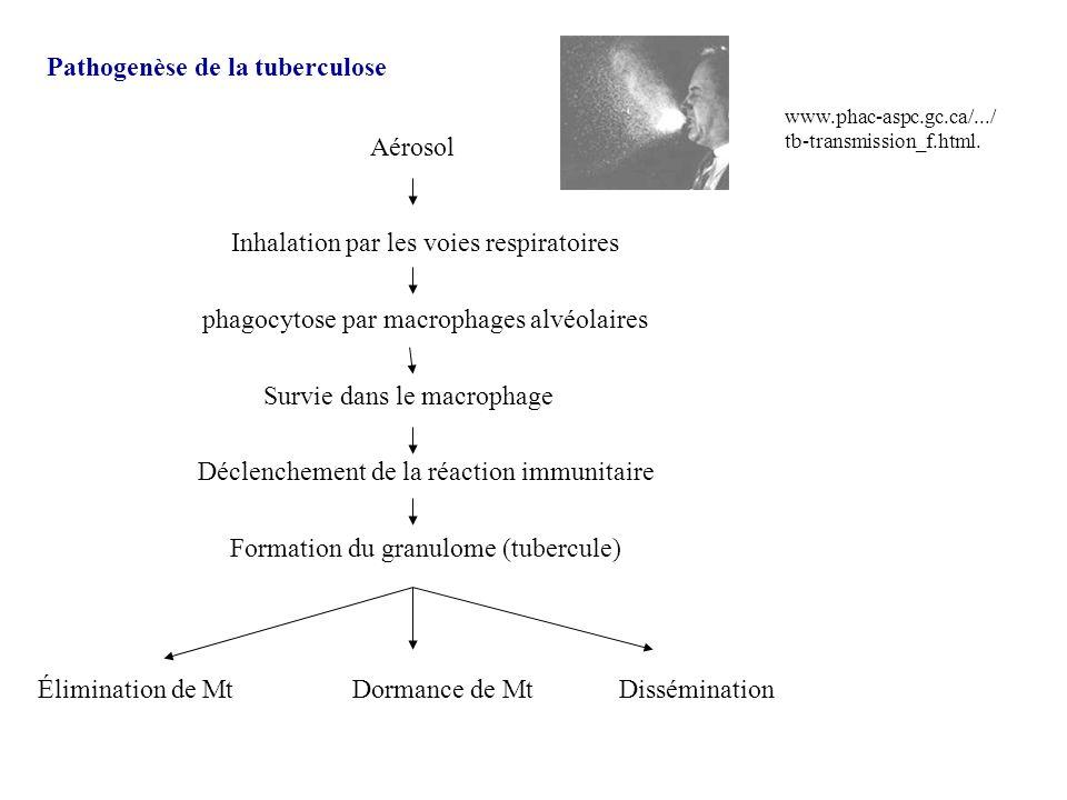 Pathogenèse de la tuberculose