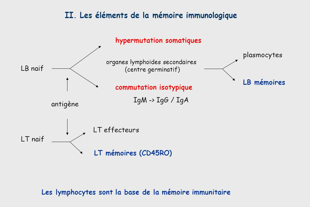 organes lymphoides secondaires