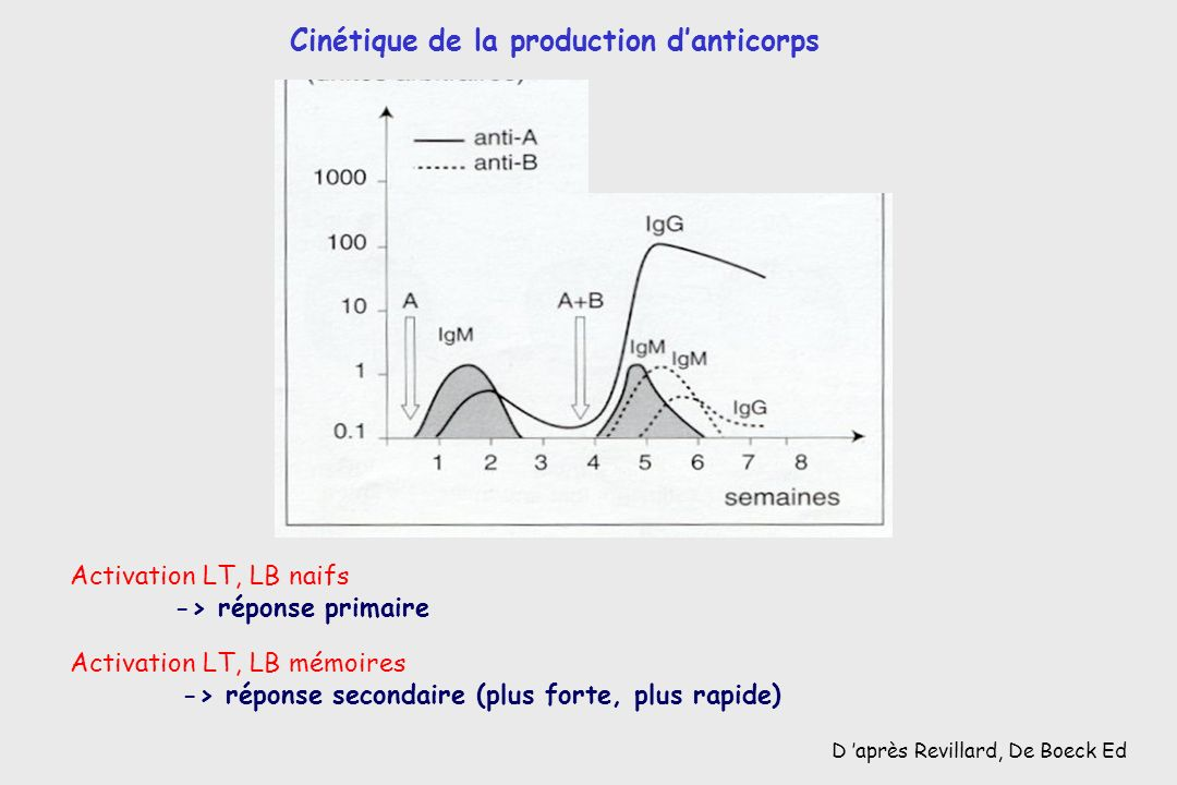 Cinétique de la production d'anticorps