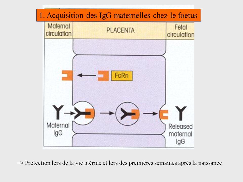 1. Acquisition des IgG maternelles chez le foetus