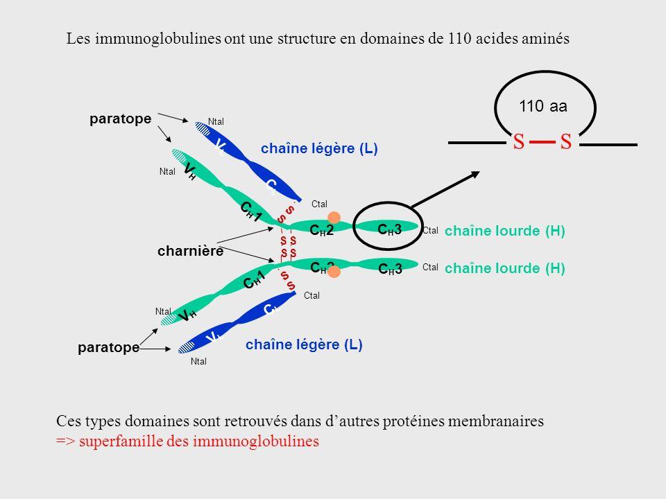 Les immunoglobulines ont une structure en domaines de 110 acides aminés