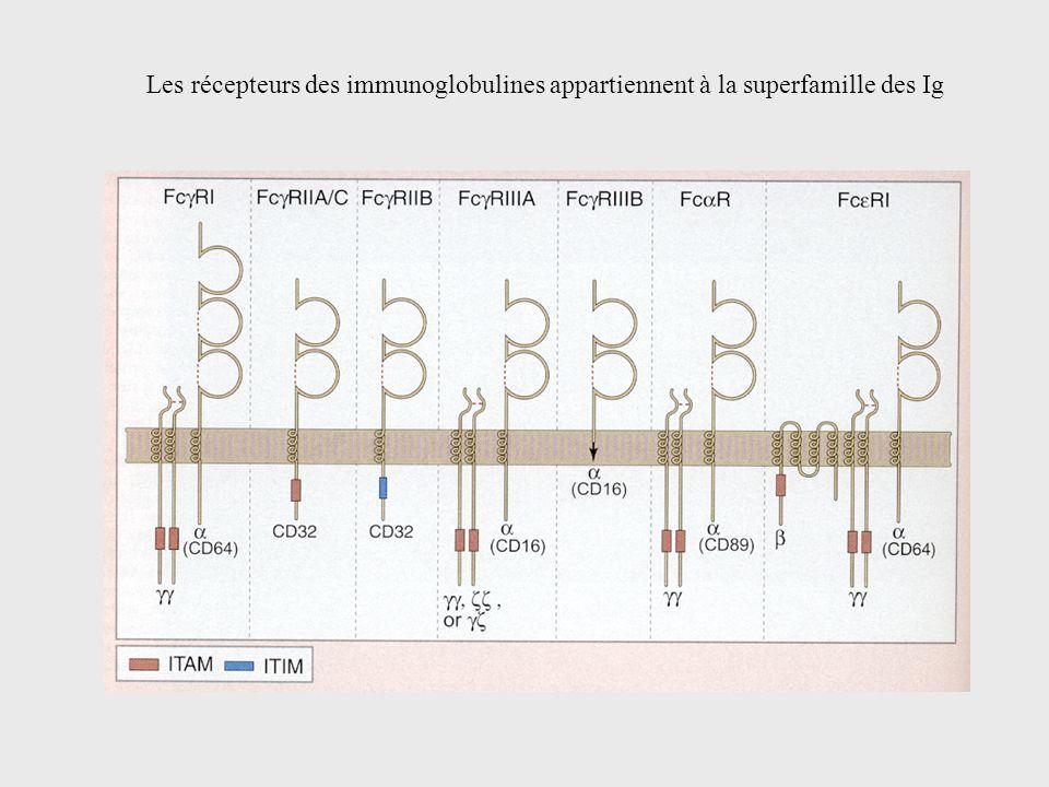 Les récepteurs des immunoglobulines appartiennent à la superfamille des Ig