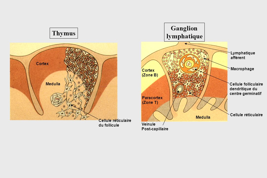 Ganglion lymphatique Thymus Lymphatique afférent Cortex Macrophage