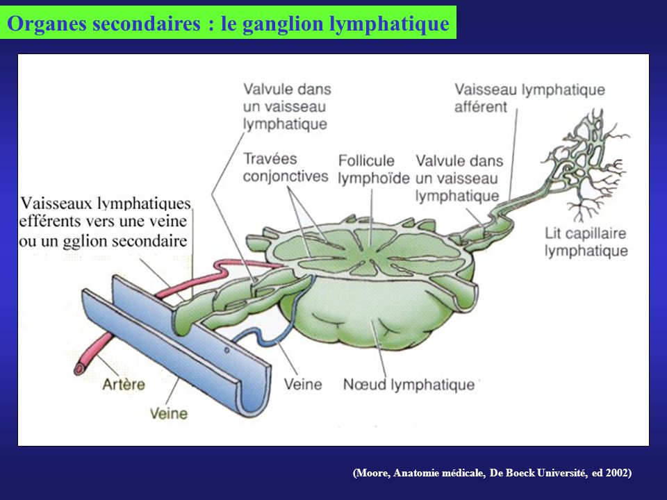 Organes secondaires : le ganglion lymphatique