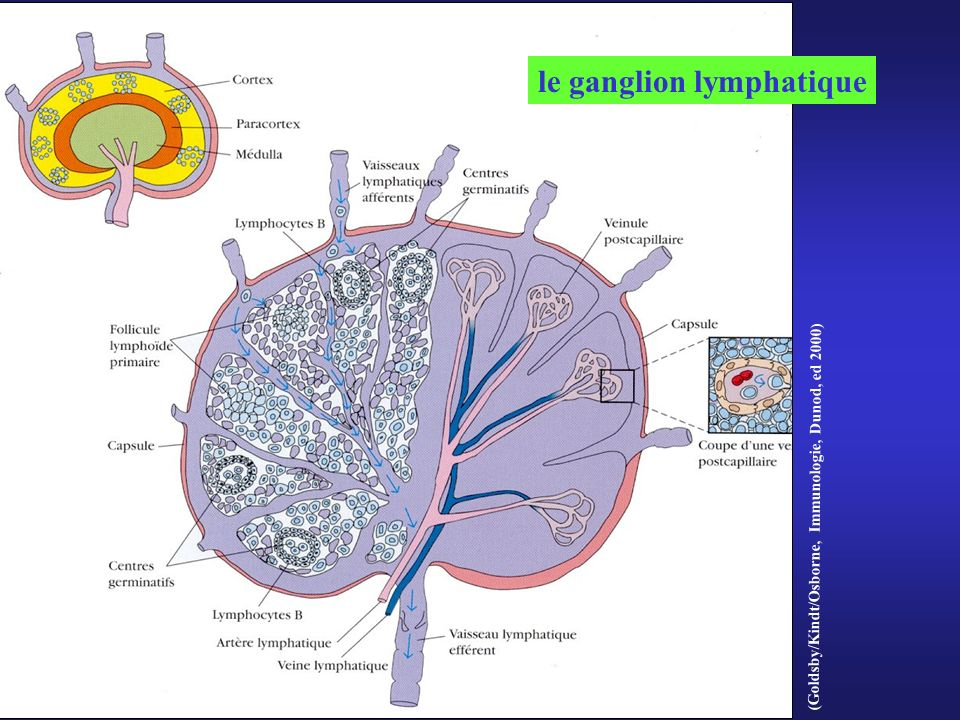 le ganglion lymphatique
