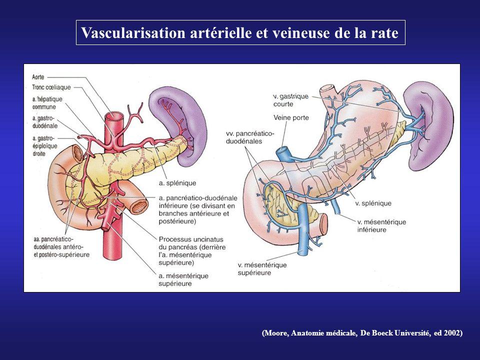 Vascularisation artérielle et veineuse de la rate