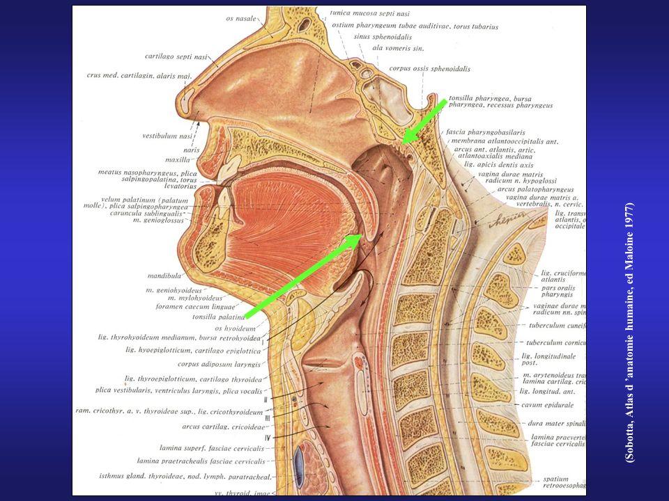 (Sobotta, Atlas d 'anatomie humaine, ed Maloine 1977)