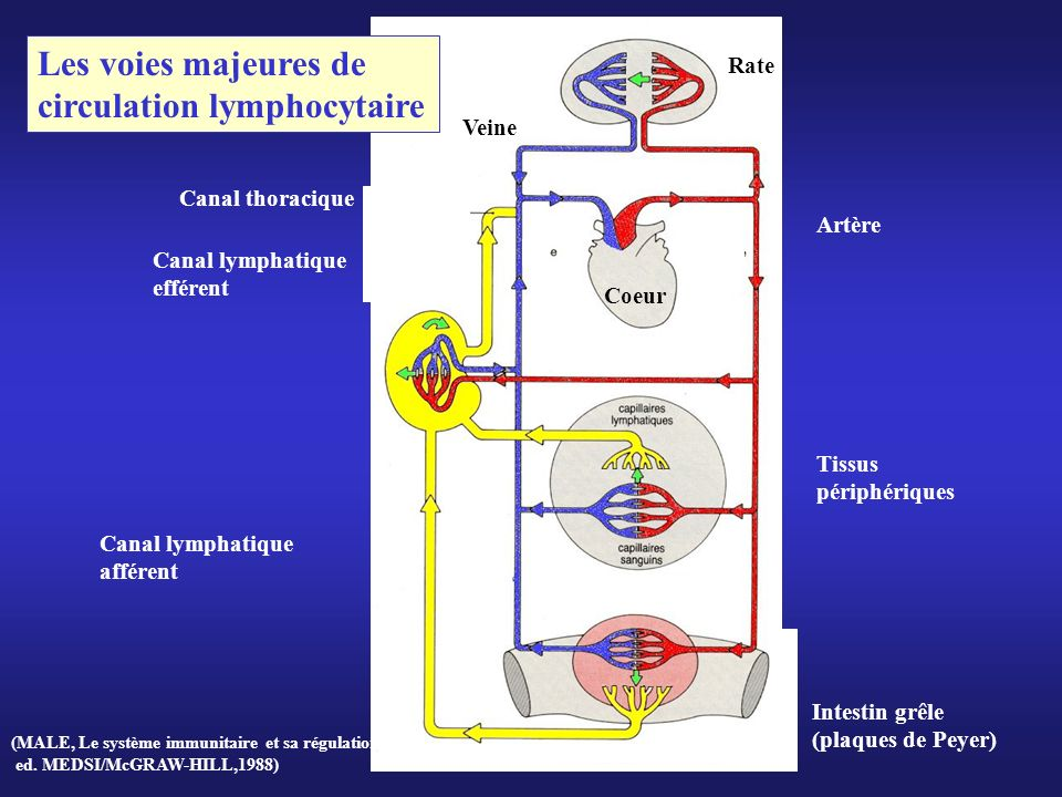 circulation lymphocytaire