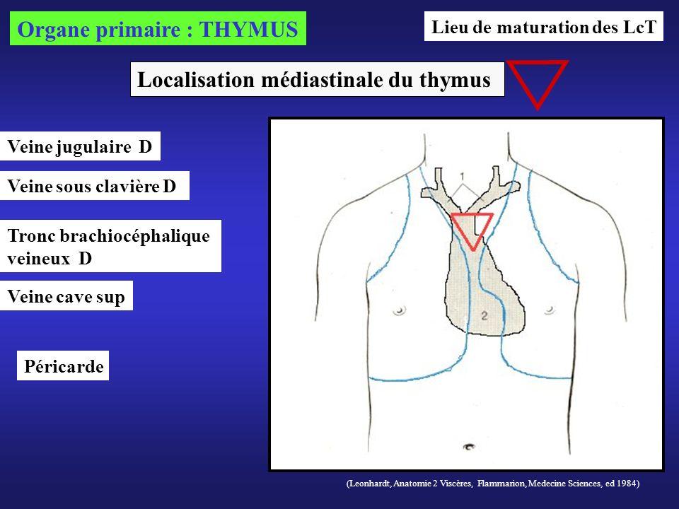 Organe primaire : THYMUS