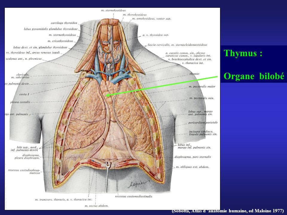 Thymus : Organe bilobé Thymus