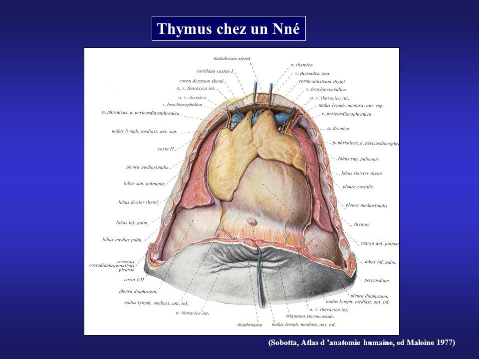 Thymus chez un Nné (Sobotta, Atlas d 'anatomie humaine, ed Maloine 1977)