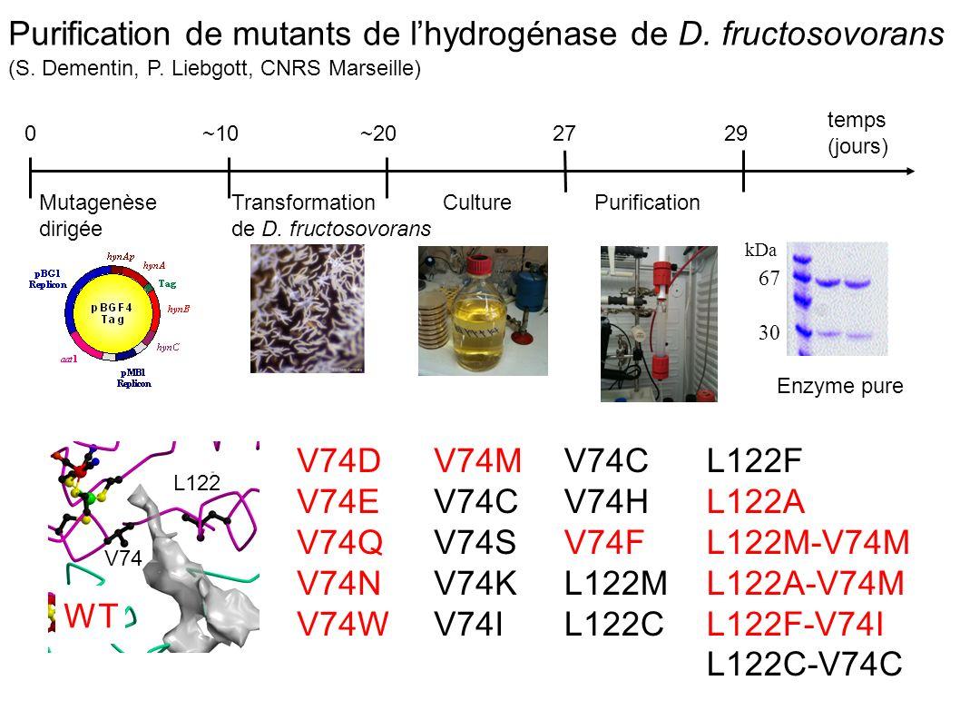 Purification de mutants de l'hydrogénase de D. fructosovorans (S