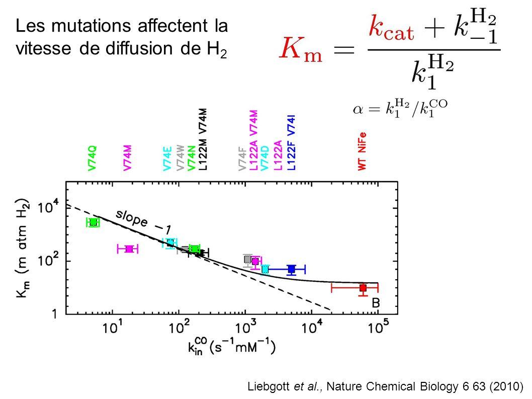 Les mutations affectent la vitesse de diffusion de H2