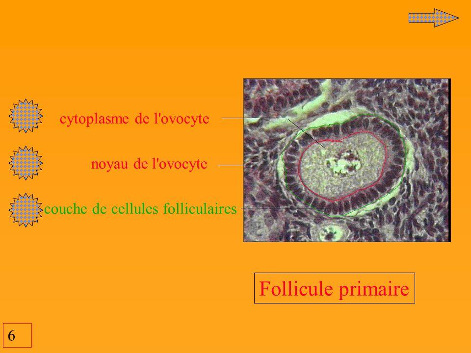 Follicule primaire cytoplasme de l ovocyte noyau de l ovocyte