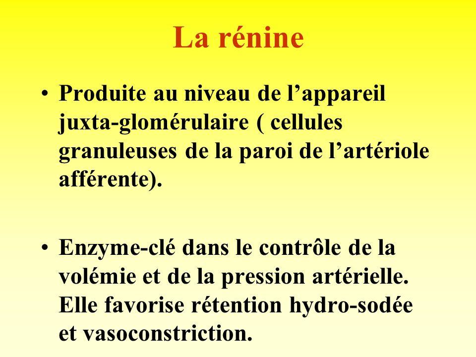 La rénineProduite au niveau de l'appareil juxta-glomérulaire ( cellules granuleuses de la paroi de l'artériole afférente).