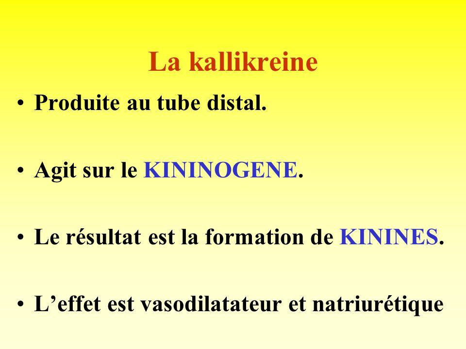 La kallikreine Produite au tube distal. Agit sur le KININOGENE.