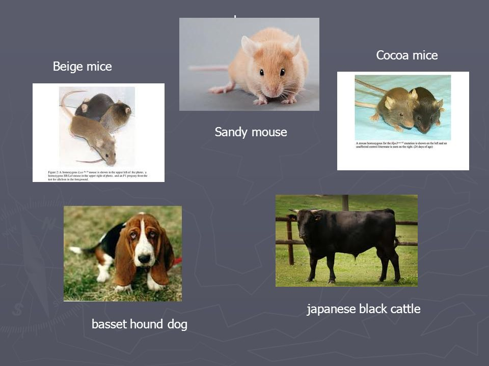 sandy mouse Cocoa mice Beige mice Sandy mouse japanese black cattle basset hound dog