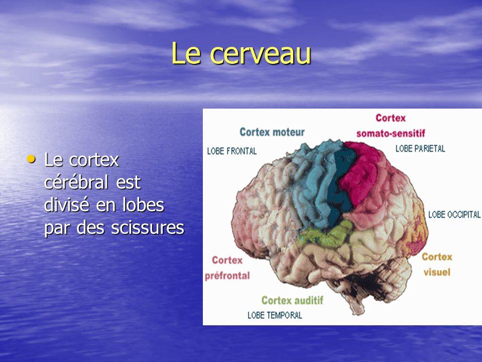 Le cerveau Le cortex cérébral est divisé en lobes par des scissures