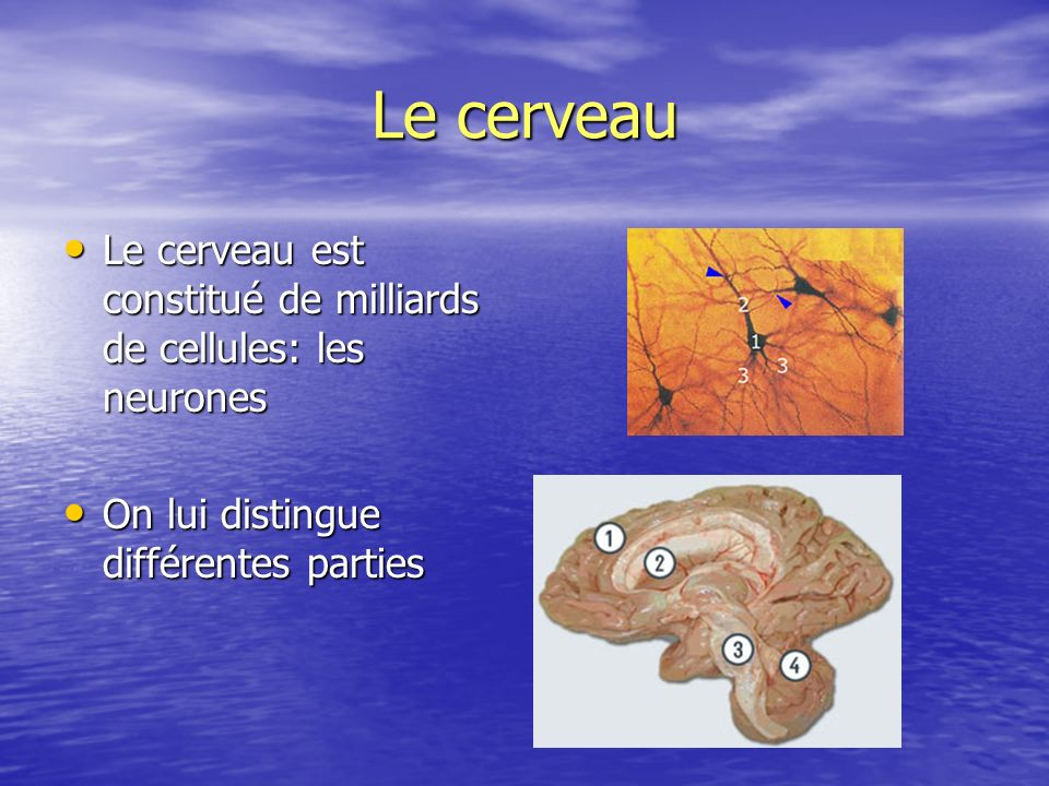 Le cerveauLe cerveau est constitué de milliards de cellules: les neurones.