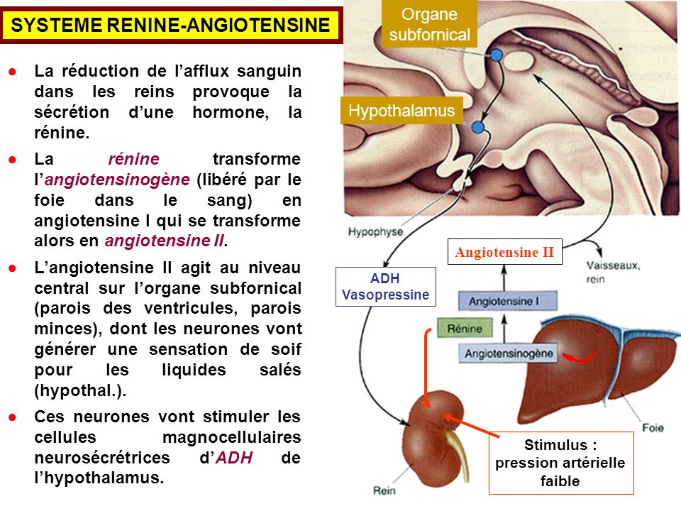 SYSTEME RENINE-ANGIOTENSINE
