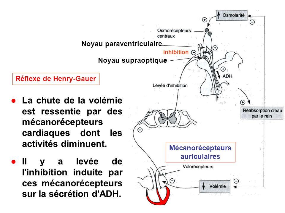 Réflexe de Henry-Gauer