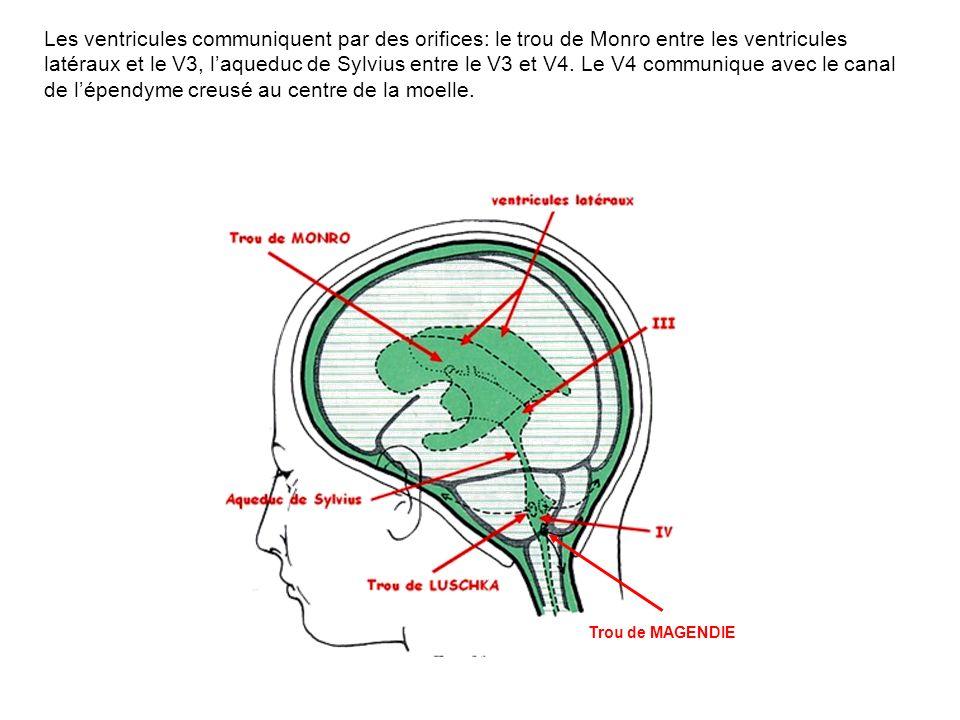 Les ventricules communiquent par des orifices: le trou de Monro entre les ventricules latéraux et le V3, l'aqueduc de Sylvius entre le V3 et V4. Le V4 communique avec le canal de l'épendyme creusé au centre de la moelle.