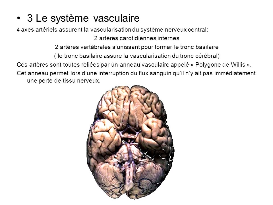 3 Le système vasculaire 2 artères carotidiennes internes