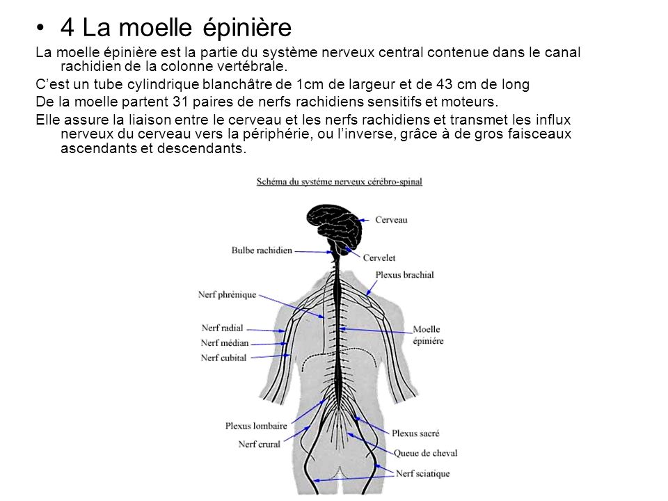 4 La moelle épinière La moelle épinière est la partie du système nerveux central contenue dans le canal rachidien de la colonne vertébrale.