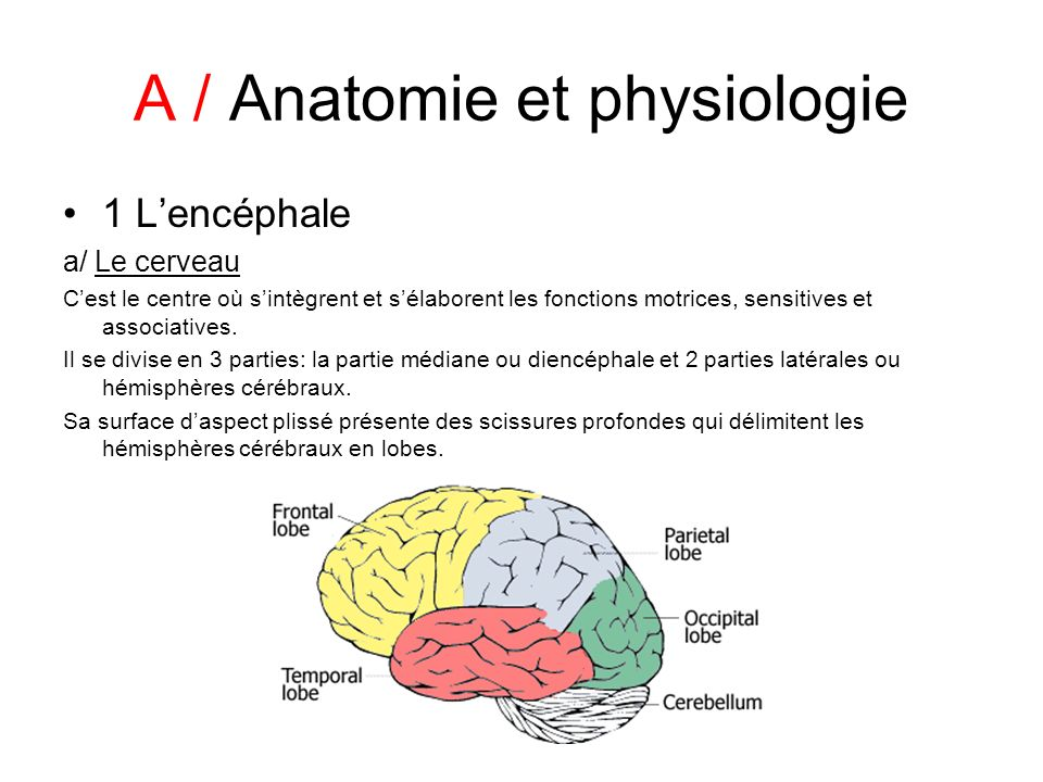A / Anatomie et physiologie