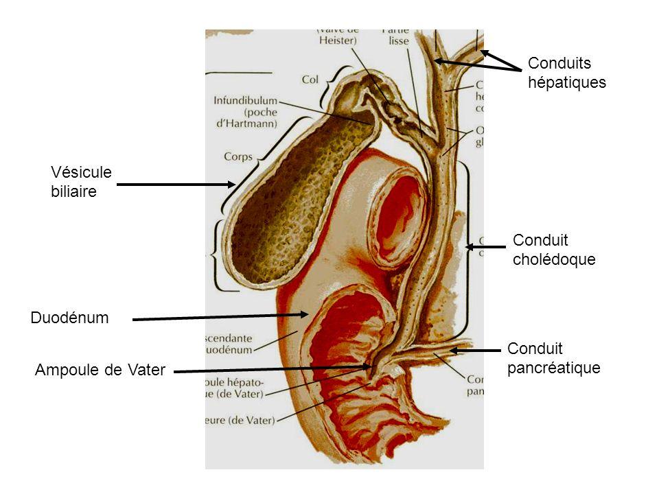 Conduits hépatiques Vésicule biliaire. Conduit cholédoque.