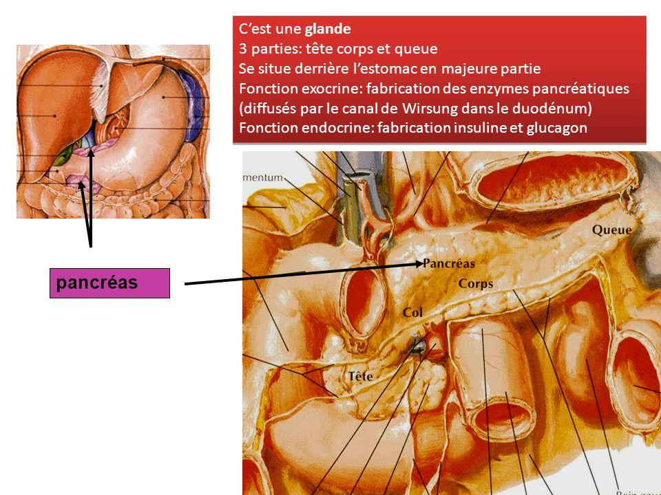 pancréas C'est une glande 3 parties: tête corps et queue