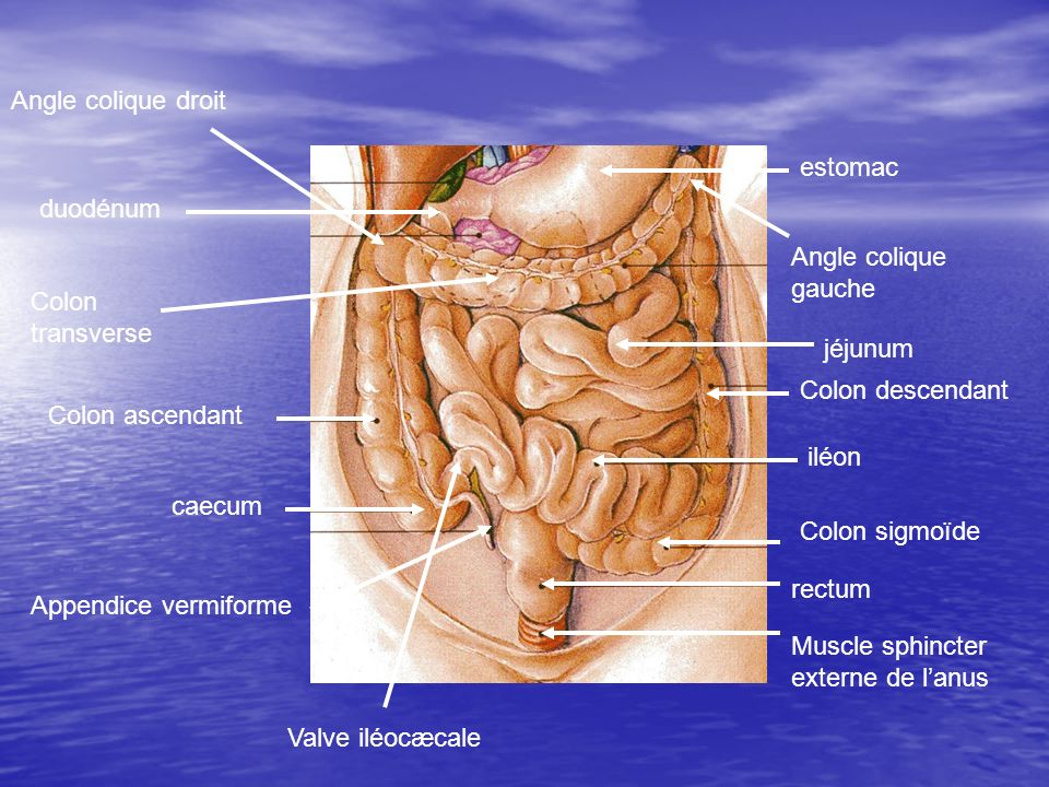 Angle colique droit estomac. duodénum. Angle colique gauche. Colon transverse. jéjunum. Colon descendant.