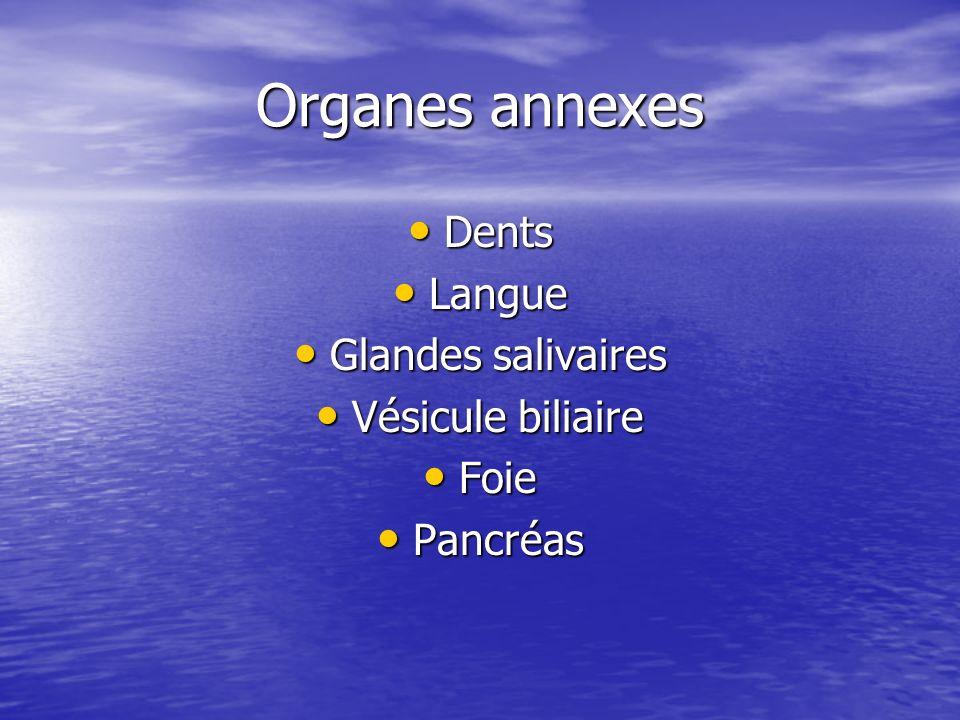 Organes annexes Dents Langue Glandes salivaires Vésicule biliaire Foie