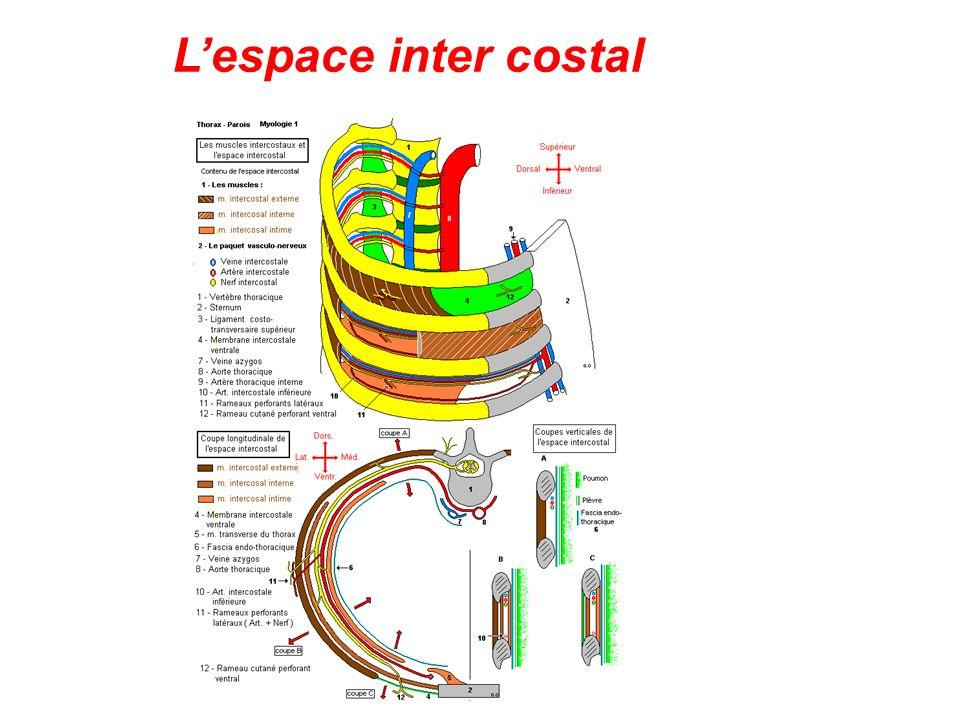 L'espace inter costal