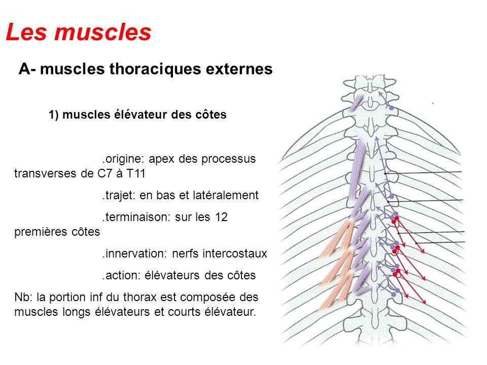 Les muscles A- muscles thoraciques externes