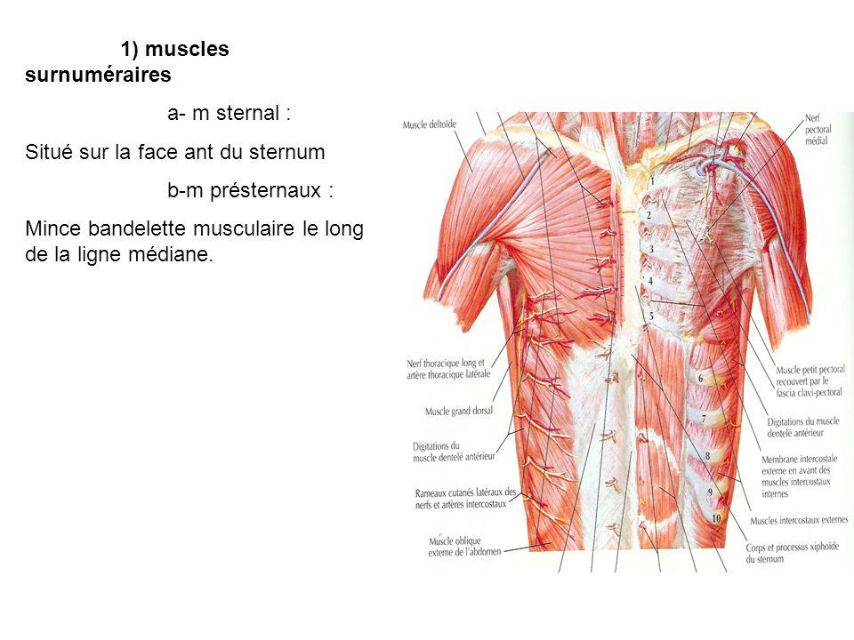 1) muscles surnuméraires