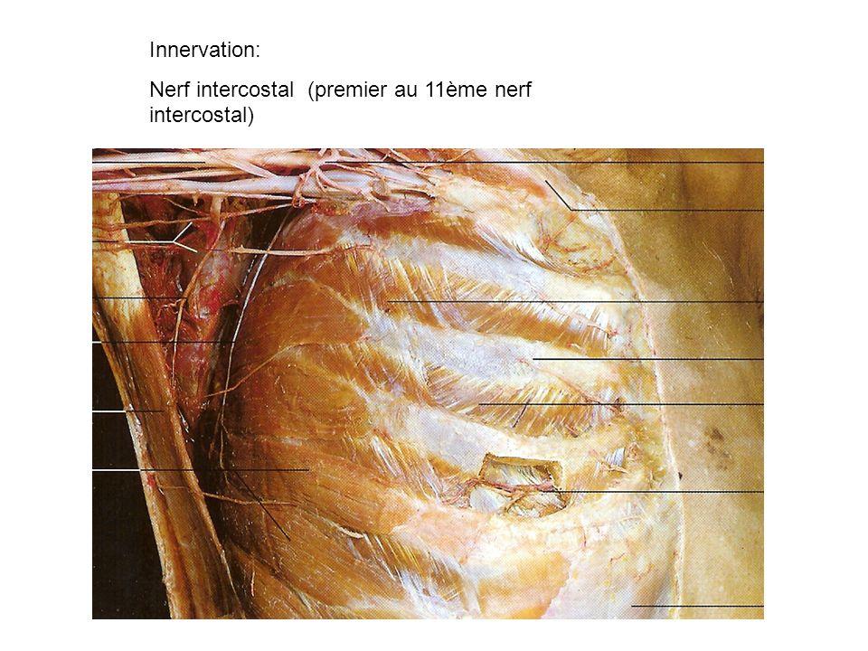 Innervation: Nerf intercostal (premier au 11ème nerf intercostal)